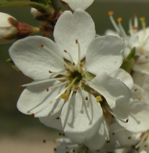 prunus-spinosa