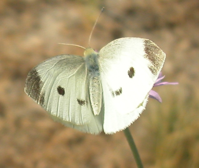 pieris-rapae